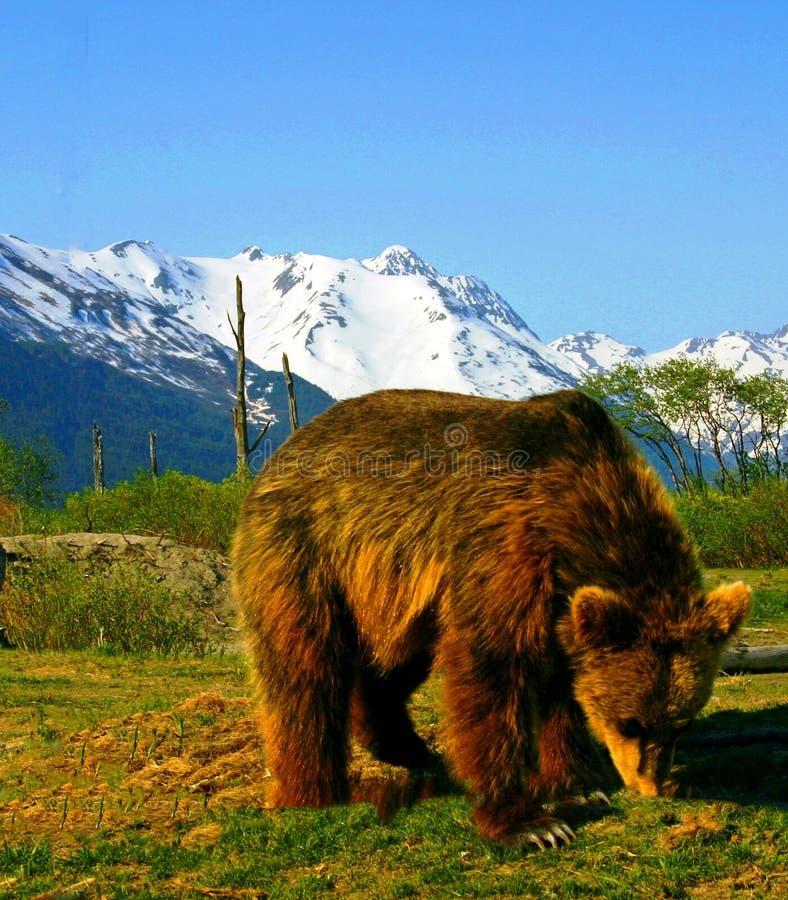 棕熊在阿拉斯加野生生物保护中心 免版税库存图片