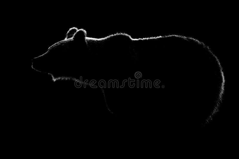 棕熊在黑背景中隔绝的身体等高 免版税库存图片