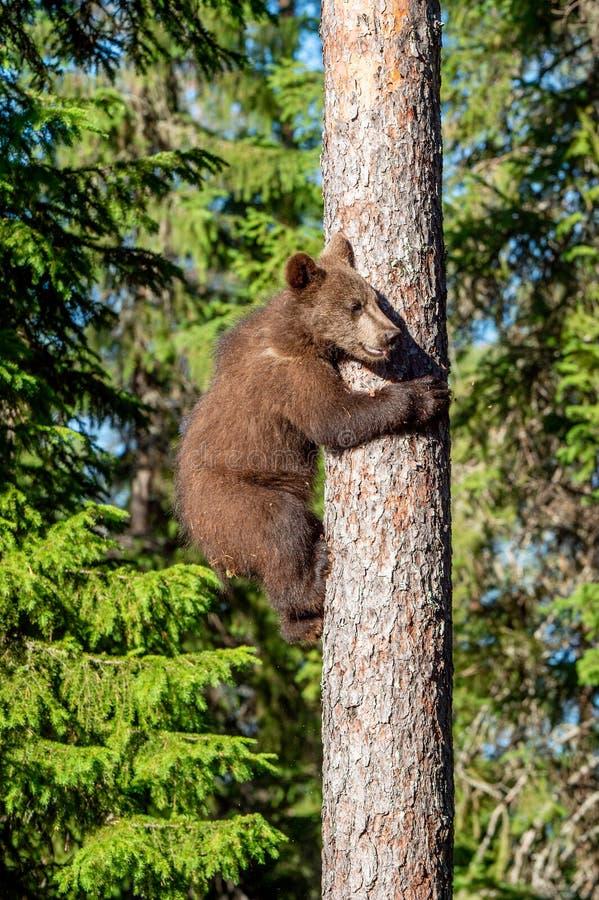 棕熊崽爬松树   夏天森林科学名字:熊属类arctos 免版税库存照片