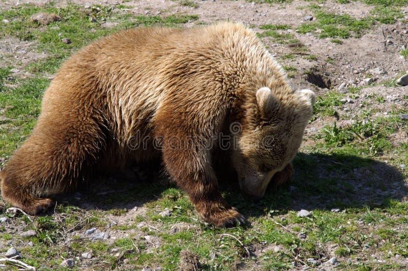 棕熊是横跨北欧亚大陆被找到的熊 图库摄影