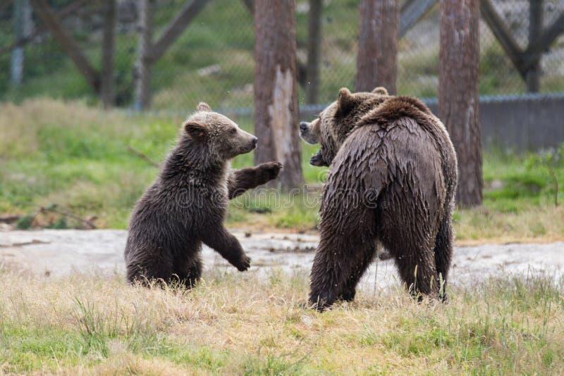 棕熊母亲熊逗人喜爱的家庭和它的使用在草的小崽 熊属类arctos beringianus 堪察加熊 库存照片