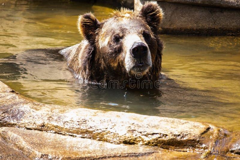 棕熊游泳 免版税库存图片