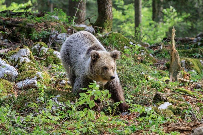 棕熊熊属类arctos 库存照片