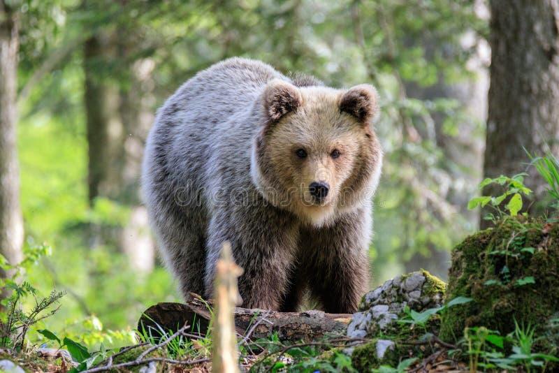 棕熊熊属类arctos 免版税库存图片