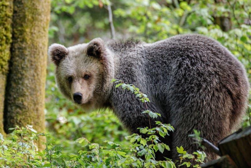 棕熊熊属类arctos 免版税图库摄影