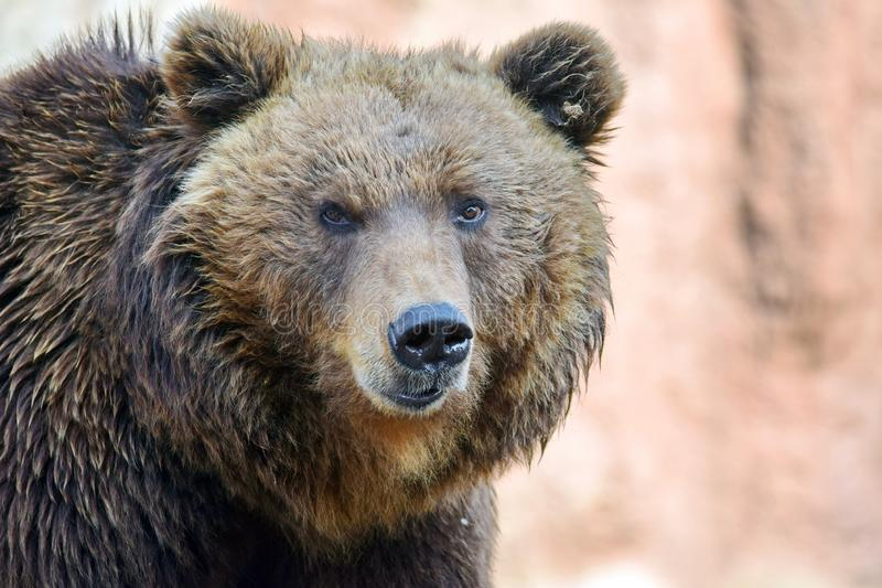 棕熊熊属类Arctos Beringianus头特写镜头画象 免版税图库摄影