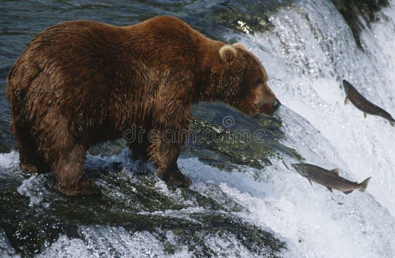 棕熊看三文鱼Katmai国家公园阿拉斯加美国的北美灰熊。  库存图片