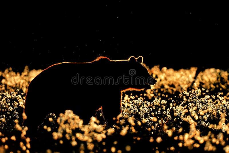 棕熊等高 在黑色的棕熊剪影 免版税库存图片