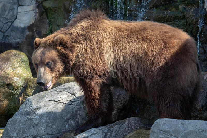 棕熊纵向 免版税库存照片