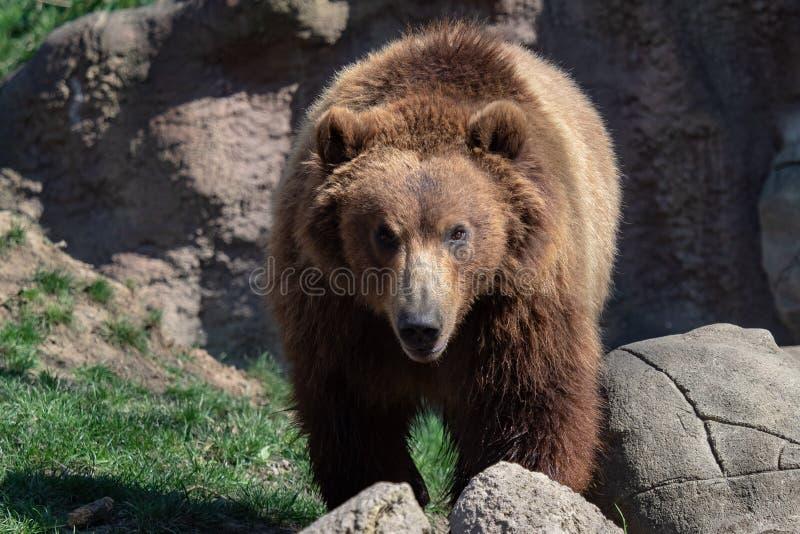 棕熊纵向 库存图片