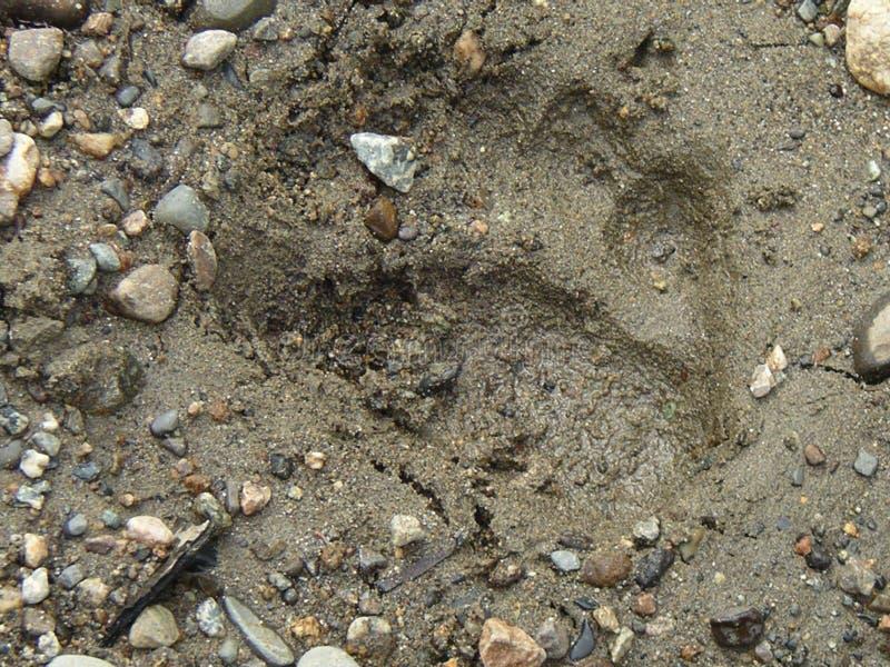 棕熊轨道在阿拉斯加 库存图片