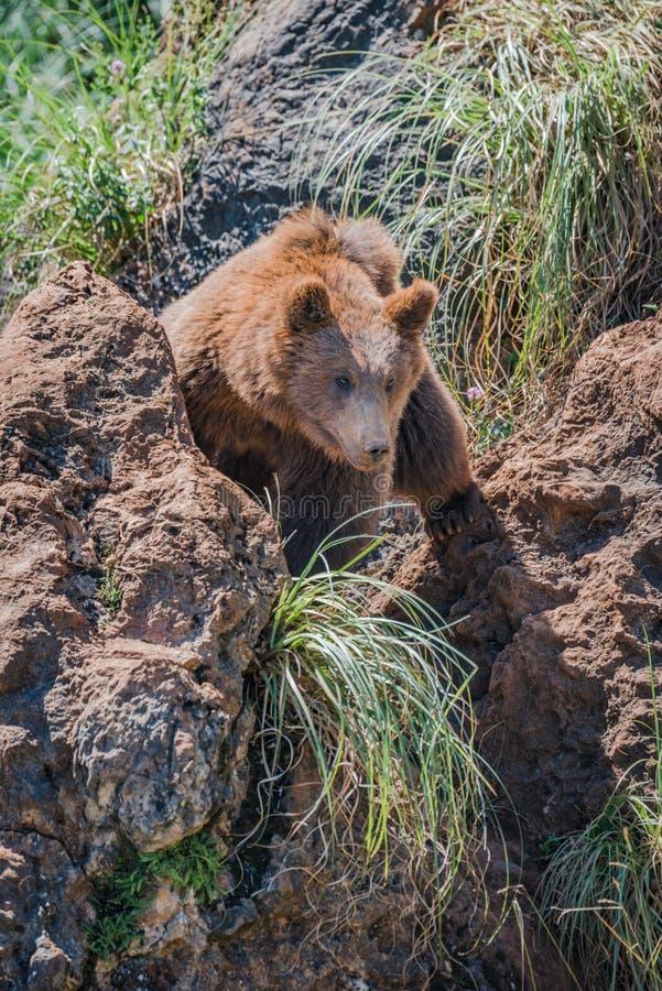 棕熊通过在岩石之间的沟壑看 免版税库存图片