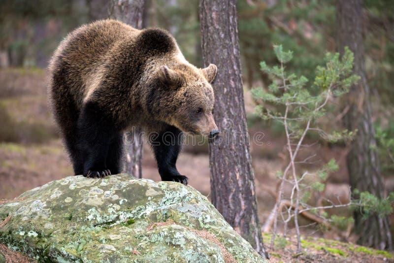 棕熊(熊属类arctos)在冬天森林里 免版税库存照片