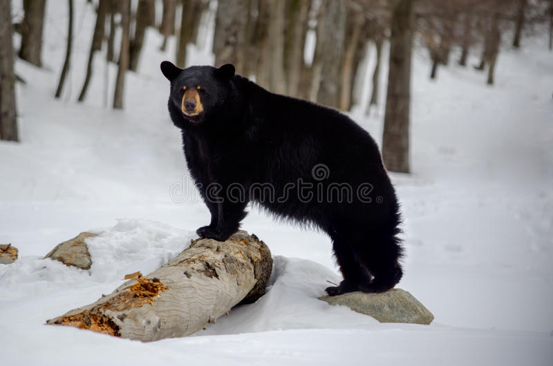 Download 棕熊 库存图片. 图片 包括有 结构树, 本质, 食肉动物, 哺乳动物, 危险, browne, 敌意, 冬天 - 30338607
