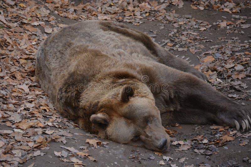 棕熊 库存照片