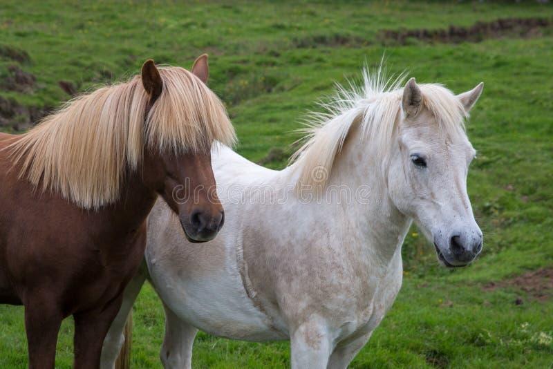 棕色两匹的马画象白色和 图库摄影
