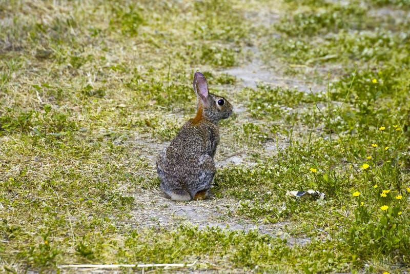 棕色兔子在草甸 库存照片