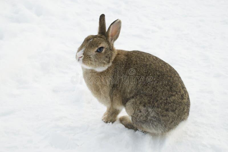 棕色兔子雪 库存照片