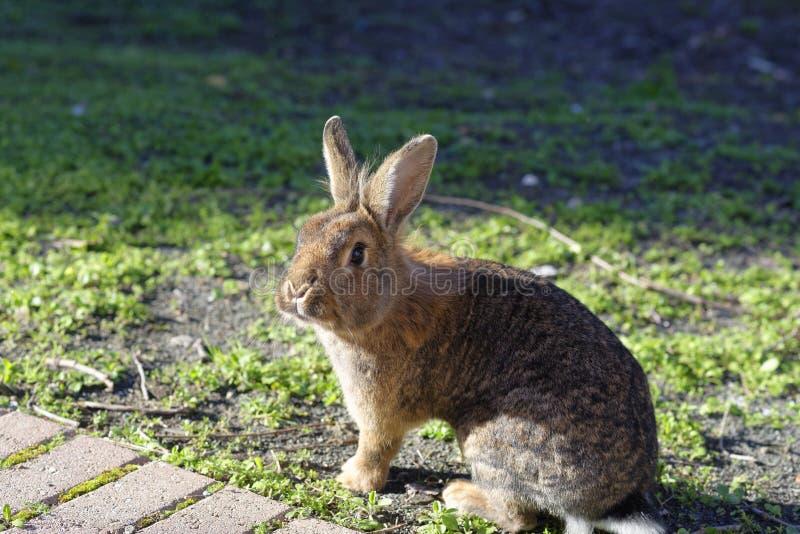 棕色兔子 库存照片