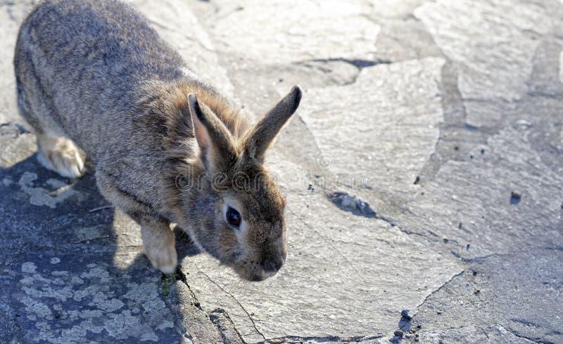 棕色兔子 免版税库存图片