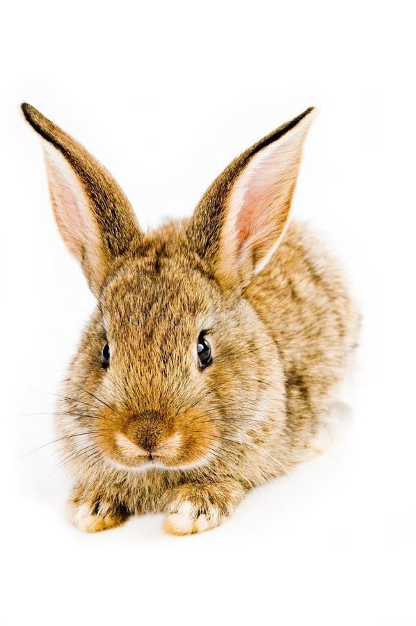 棕色兔宝宝 库存图片