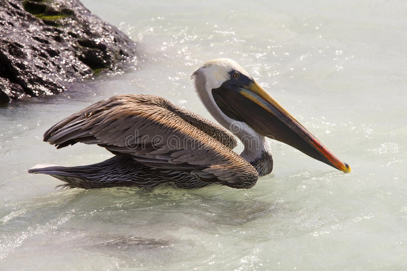 棕色加拉帕戈斯群岛鹈鹕 免版税库存照片