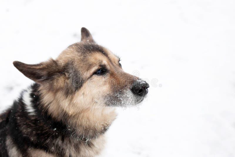 棕色和白色短发杂种狗和地址标记画象与衣领的在步行的一个冬天多雪的公园 库存图片