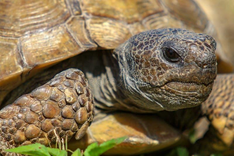 棕色地鼠迈克尔照片r草龟 免版税库存照片