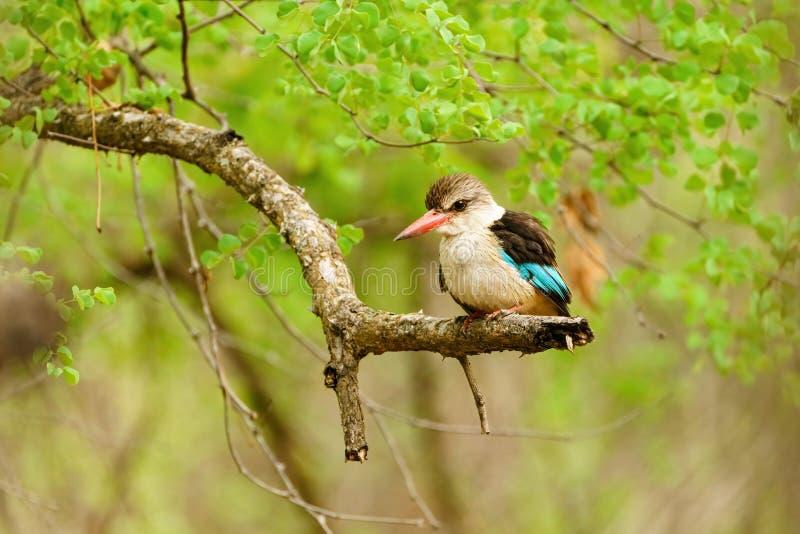 棕色头戴翠鸟(Halcyon albiventris)在南非 免版税库存图片