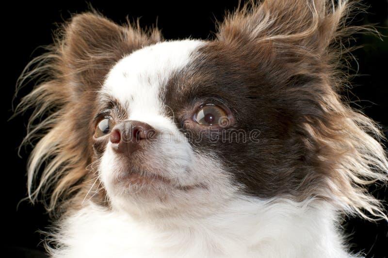 棕色奇瓦瓦狗巧克力狗纵向白色 库存图片