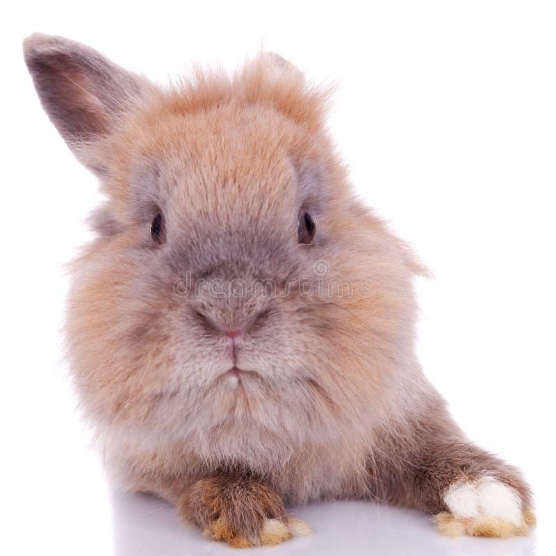 棕色好奇小的兔子 免版税库存照片