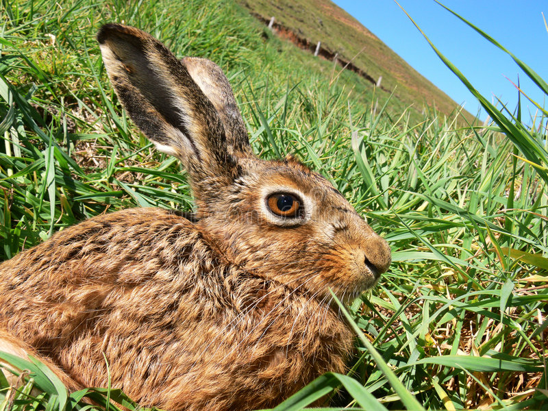 棕色好奇野兔 免版税库存照片