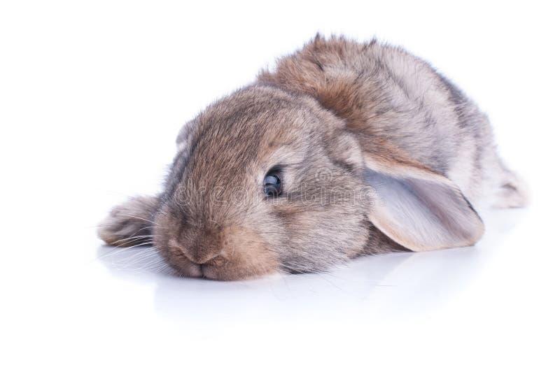棕色小兔的被隔绝的图象 免版税库存照片