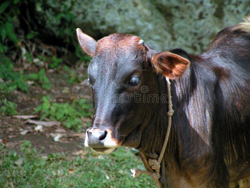 棕色小牛 库存图片