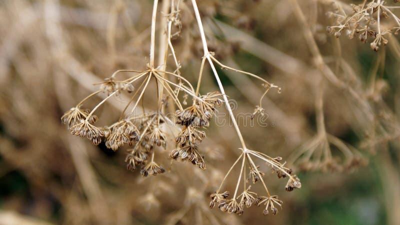 棕色干枯的花 免版税图库摄影