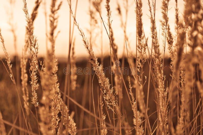 棕色干草美丽的特写镜头在日落抽去在秋天天 免版税库存图片
