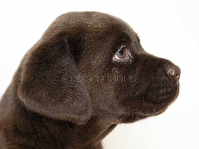 棕色拉布拉多小狗 库存图片