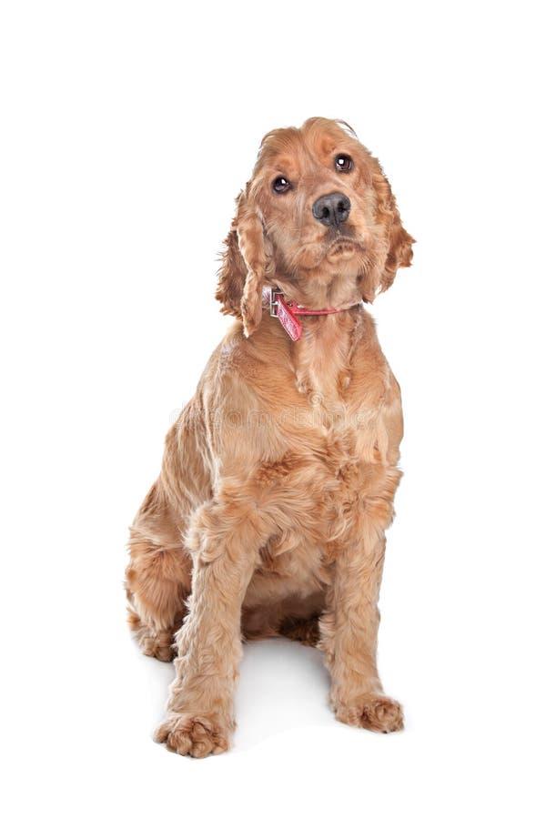 棕色斗鸡家狗西班牙猎狗 库存照片