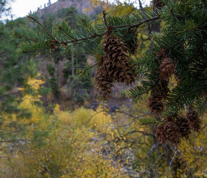 棕色松树锥体从一棵常青树在一个树木繁茂区垂悬 免版税库存图片