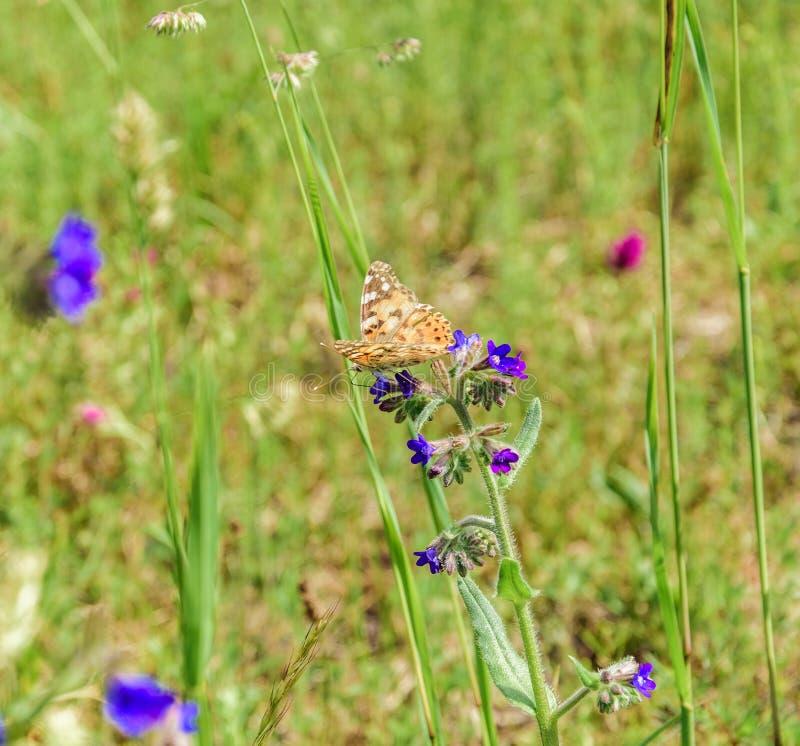 棕色橙色蝴蝶Brenthis daphne坐一朵海索草花在一明亮的好日子 库存图片
