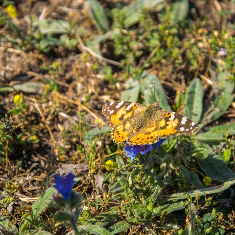 棕色橙色蝴蝶Brenthis daphne坐一朵海索草花在一明亮的好日子 r 免版税库存图片
