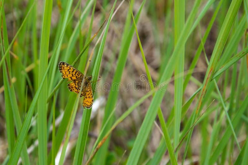 棕色橙色蝴蝶Brenthis daphne坐草 免版税库存照片