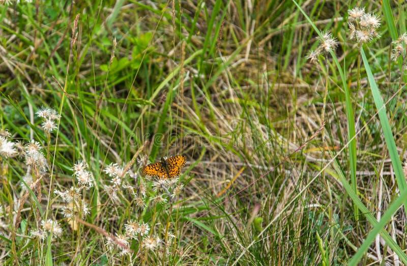 棕色橙色蝴蝶Brenthis daphne坐草 库存照片