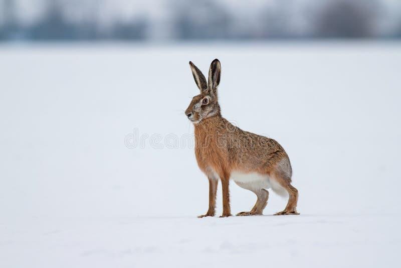 棕色欧洲野兔 免版税库存图片