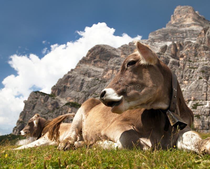 头棕色母牛(猜错primigenius金牛座),与母牛的颈铃 免版税库存图片