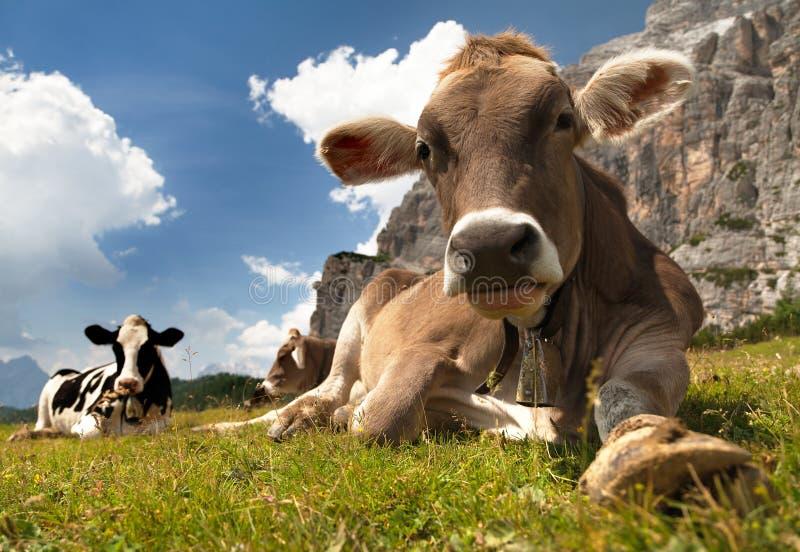 头棕色母牛(猜错primigenius金牛座),与母牛的颈铃 免版税库存照片