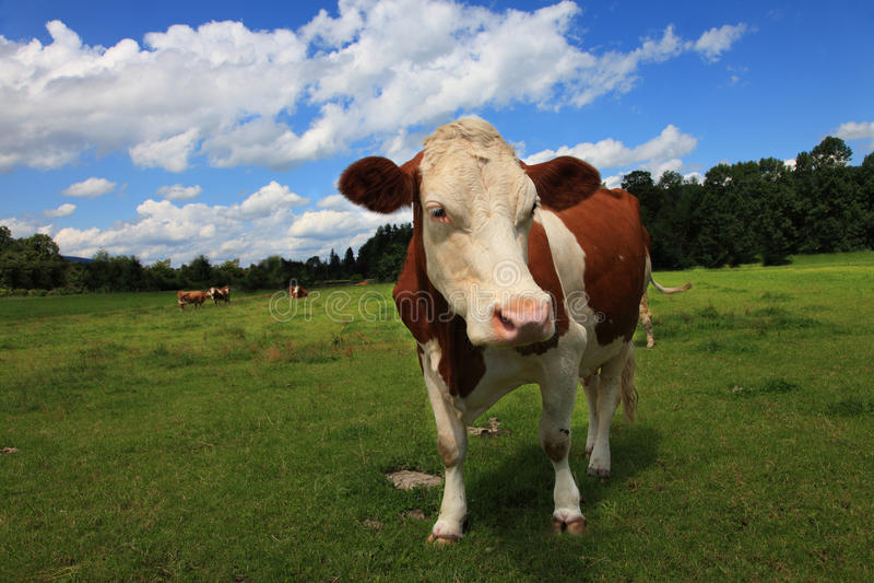 Download 棕色母牛 库存图片. 图片 包括有 农夫, browne, 有雀斑, 股票, 云彩, 天空, 营养素, 范围 - 15691245