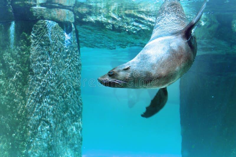 棕色海狗 库存图片
