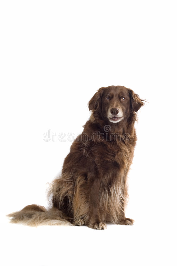 棕色狗安装员 免版税图库摄影