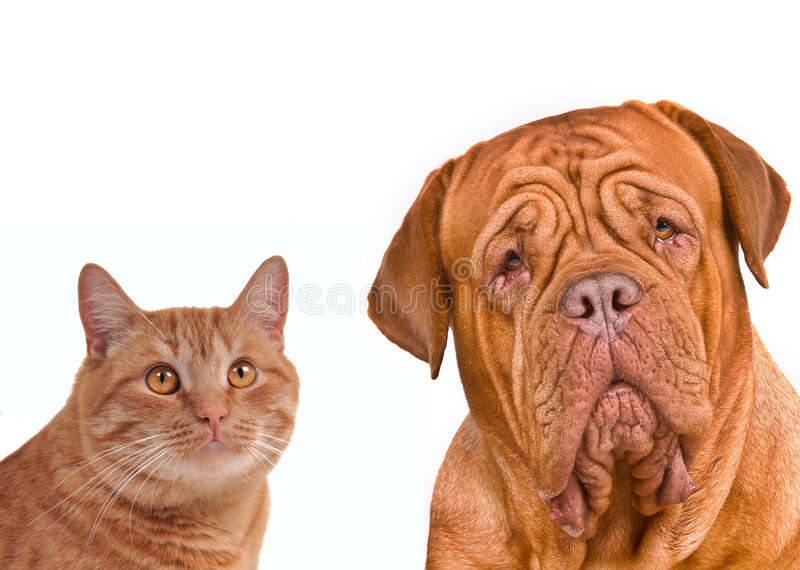 棕色猫关闭狗朋友纵向 免版税图库摄影